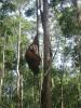 Un orang-outan du camp Leaky