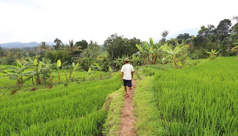Les rizières de Bandongan sur l'île de Java