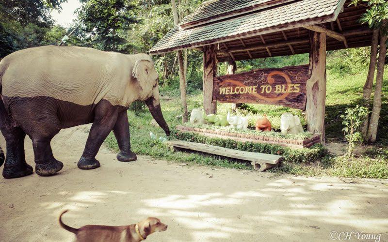 Sanctuaire d'éléphants à Sukhothaï en Thailande- Boon Lott's Elephant Sanctuary (BLES) –